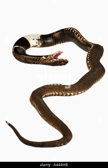 Rinkhals Ring necked Spitting Cobra Hemachatus haemachatus Typical South African snake that fake death as secondary - Stock Image