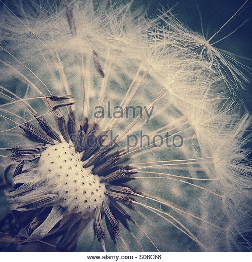 Dandelion head - Stock-Bilder