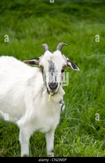 Goat on grass - Stock Image