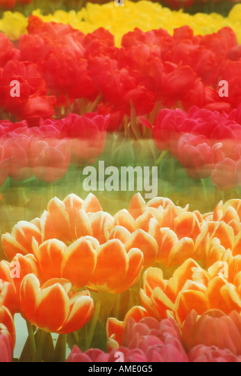 Rows of Tulips of various colors blowing in the wind in Holland - Stock Image
