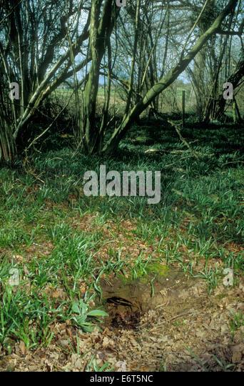 Fox den - Vulpes vulpes - Stock Image