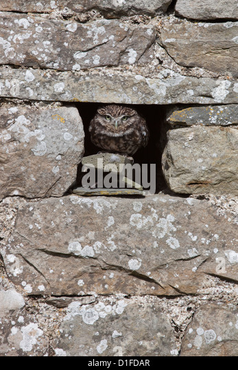 Little owl (Athene noctua) captive, United Kingdom, Europe - Stock Image