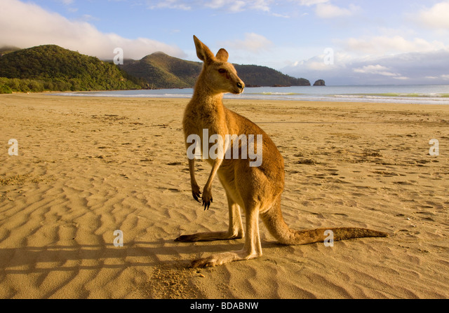 Red Kangaroo Macropus rufus on beach - Stock Image