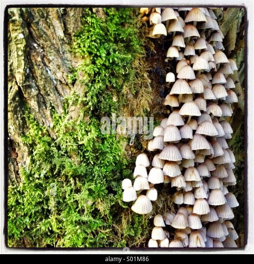 Mossy tree trunk with tower of tiny mushrooms - Stock Image
