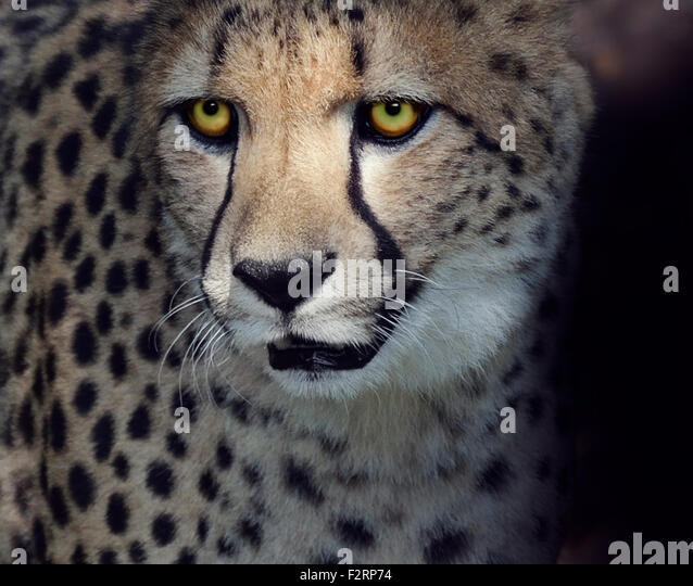Portrait of Cheetah ,Closeup Shot - Stock Image