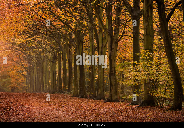 Felbrigg Great Wood Norfolk UK Early November - Stock Image