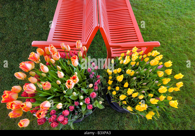 Pots of tulip flowers and bench Wooden Shoe Tulip Farm Oregon - Stock Image