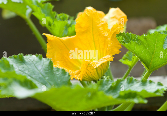 Courgette plant in flower - Stock Image