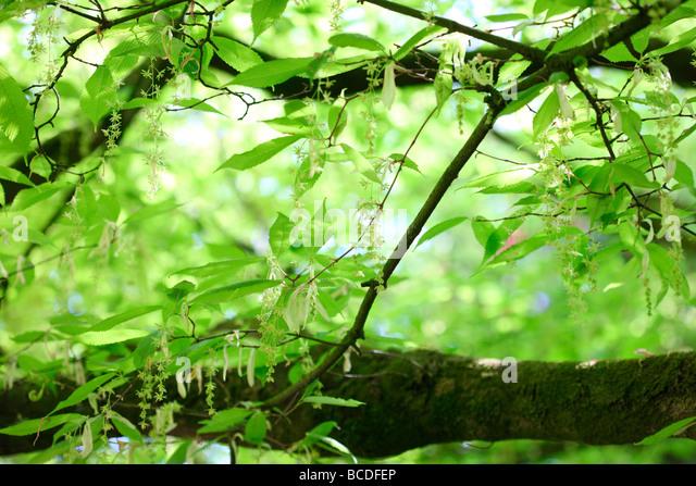 acer carpinifolium hornbeam maple native to japan fine art photography Jane-Ann Butler Photography JABP448 - Stock Image