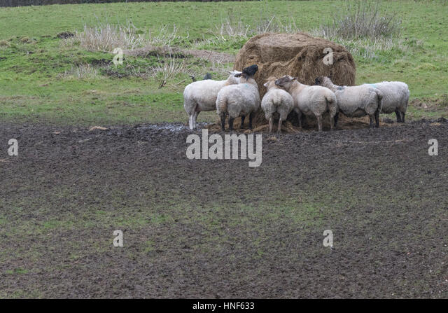 Sheep feeding from pile of supplied fodder during winter months. - Stock Image
