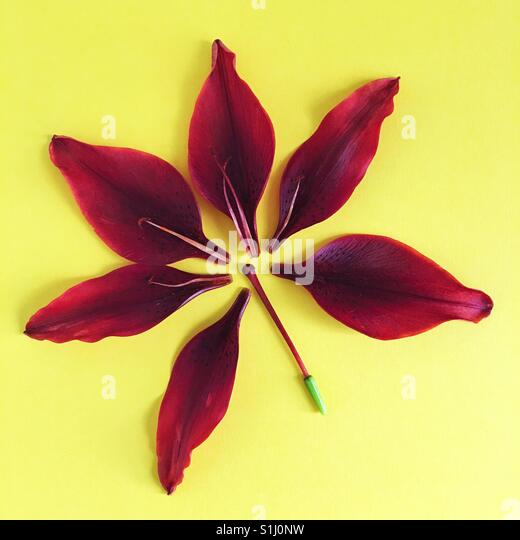 A deconstructed Asiatic Lily. - Stock Image