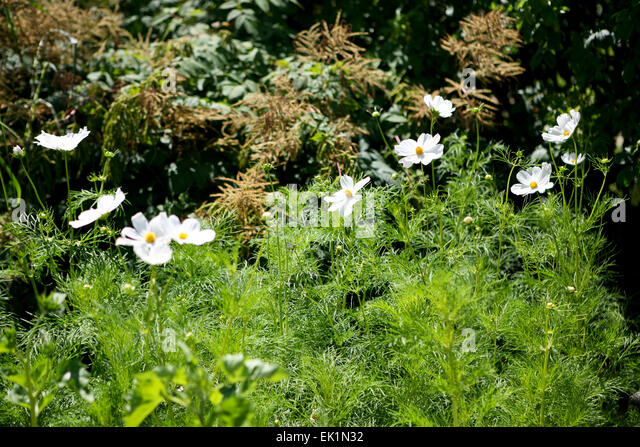 Cosmos bipinnatus 'Purity' - Stock Image