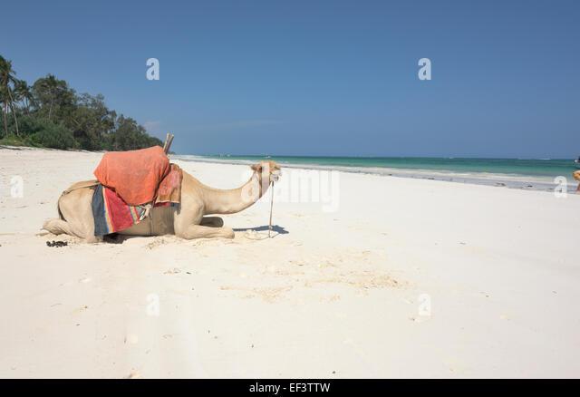 Crazy camel at Diani beach, Ukunda, Mombasa, Kenya - Stock Image