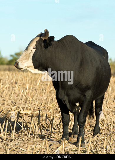 Rodeo Bull Stock Photos Amp Rodeo Bull Stock Images Page 3