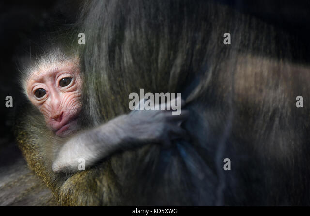 Madrid, Spain. 10th October,  2017. The newborn Mandrill pictured with her mother July at Madrid zoo. Credit: Jorge - Stock Image