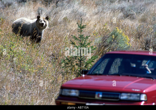 A grzzly bear keeps an eye on the tourists just east of Yellowstone National Park COPYRIGHT DUANE BURLESON - Stock Image