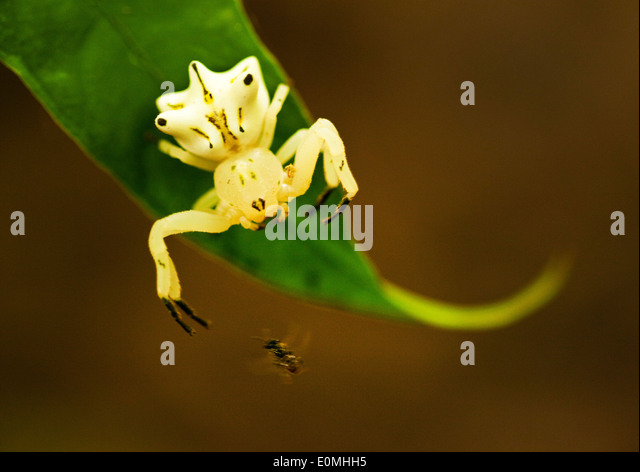 The moment before a Crab Spider lunges for a fly, Peruvian Amazon (Araneidae) - Stock Image