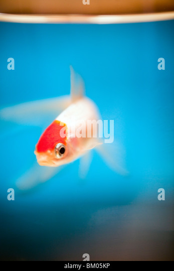 Fish in a fish bowl, Vannes, France - Stock-Bilder