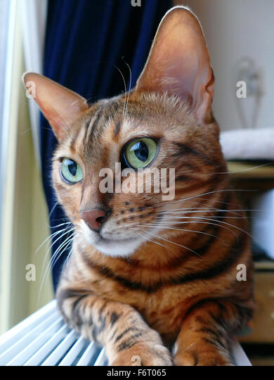 Bengal cat: Bengal cat head looking shy away from camera - Stock Image