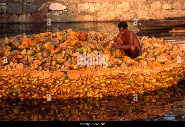 India Kerala indian man sorting dryed coconuts in the backwaters - Stock Image