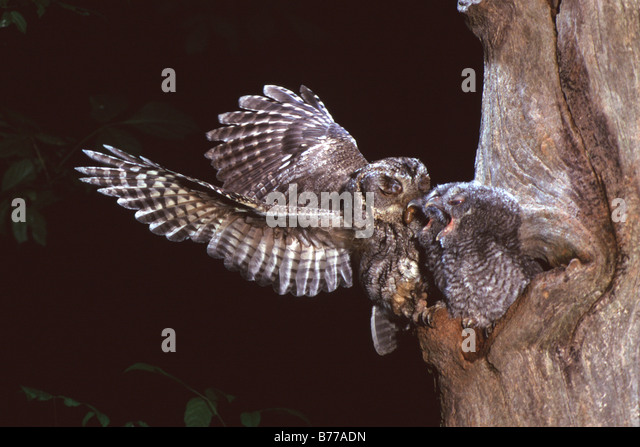 Eastern Screech Owl - Grey Phase - Stock Image