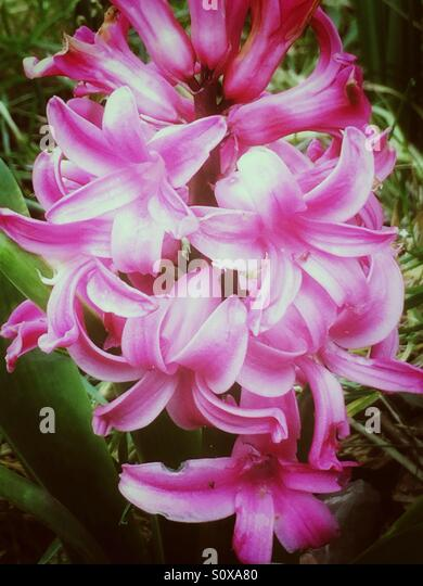 Pink hyacinth flowers in spring season - Stock Image