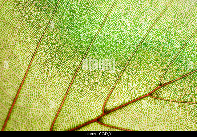 green leaf texture - Stock Image
