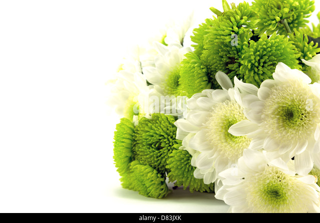 Green and white chrysanthemum flowers. - Stock Image