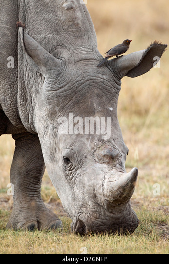 White Rhino grazing, Lake Nakuru Nationalpark, Kenya. - Stock Image