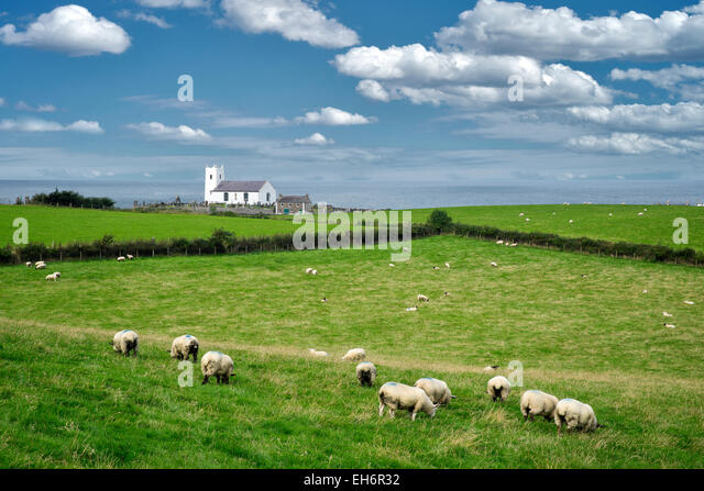 Sheep in pasture with Ballintoy Parish Church and ocean in distance. Ireland. - Stock Image