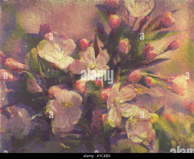 Apple Blossom Bouquet Polaroid Transfer - Stock Image