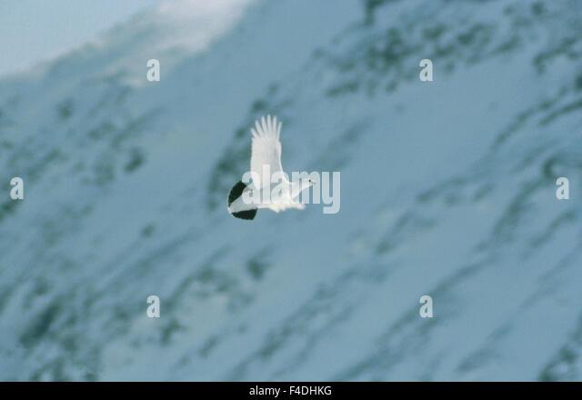bird color image flying grouse Lapland midair national park nature nature reserve Sarek national park Scandinavia - Stock-Bilder