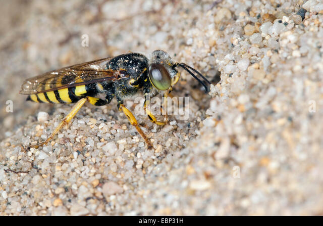 Sand wasp (Bembix oculata), at its den in the sand - Stock Image