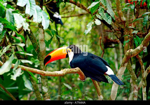 Brazil birdpark near Iguazu falls Ramphastos toco toco toucan - Stock Image