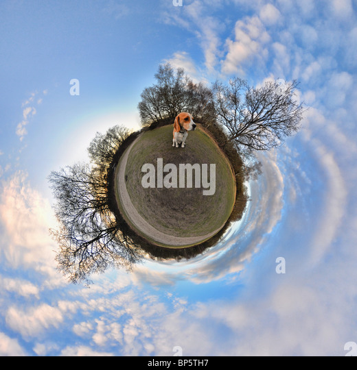 Beagle in park with little planet effect - Stock Image