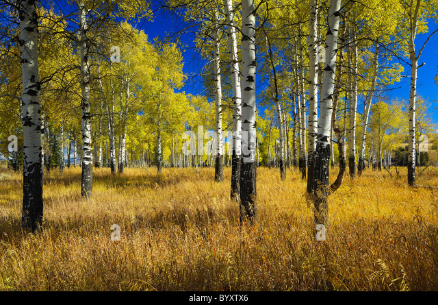 Grand Teton Aspens - Stock Image