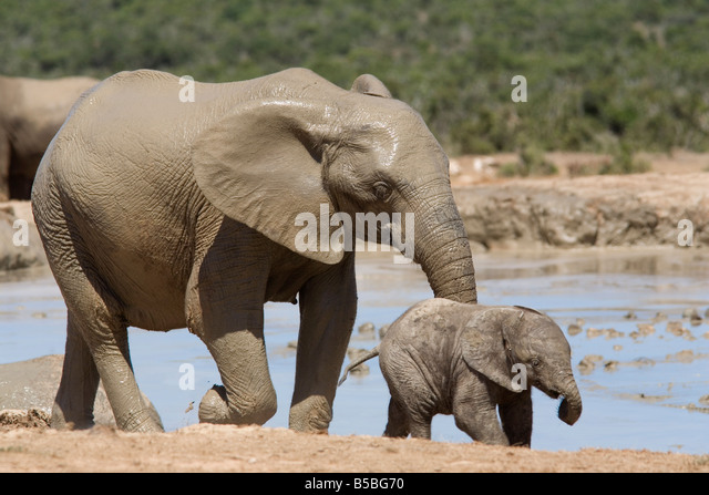 African elephant Loxodonta africana) with calf, Addo Elephant National Park, South Africa, Africa - Stock Image