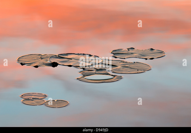 Water lily leaves floating on water - Stock Image