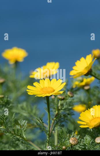 Close Up of California Brittlebush - Stock Image