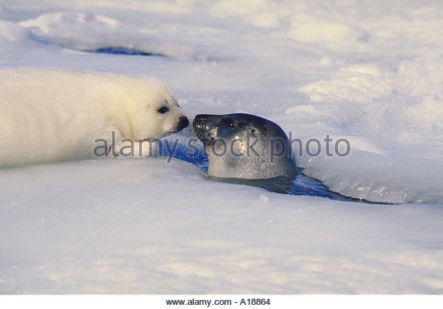Harp Seal greeting mother - Stock Image