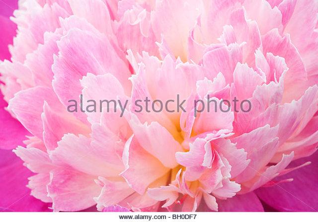 Paeonia lactiflora 'Gay Paree' - Stock Image