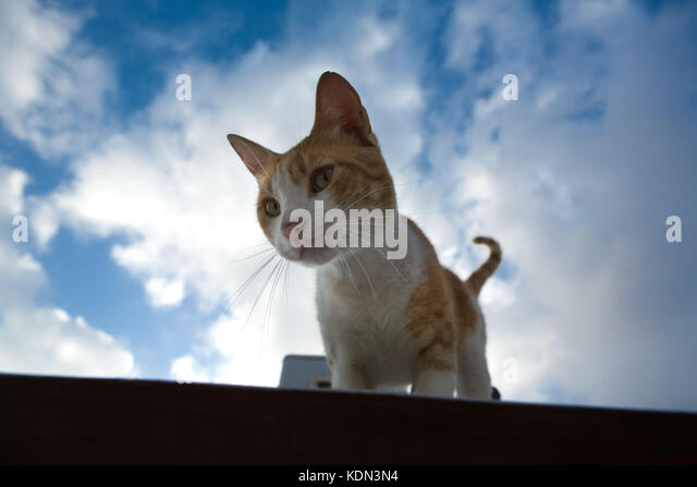 Street cat on the roof over the blue sky of Tetuan, Morocco - Stock Image