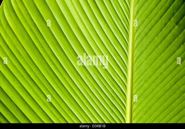 Underside of tropical rain forest leaf, bright green colors, Jamaica - Stock Image