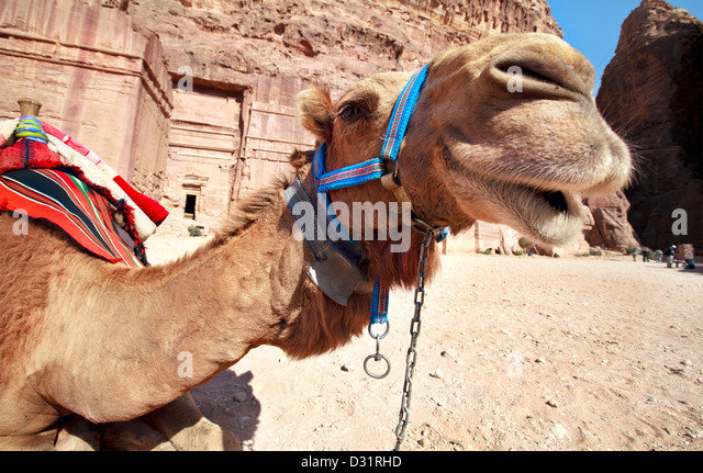 Bedouin camel rests near the Petra, Jordan - Stock Image