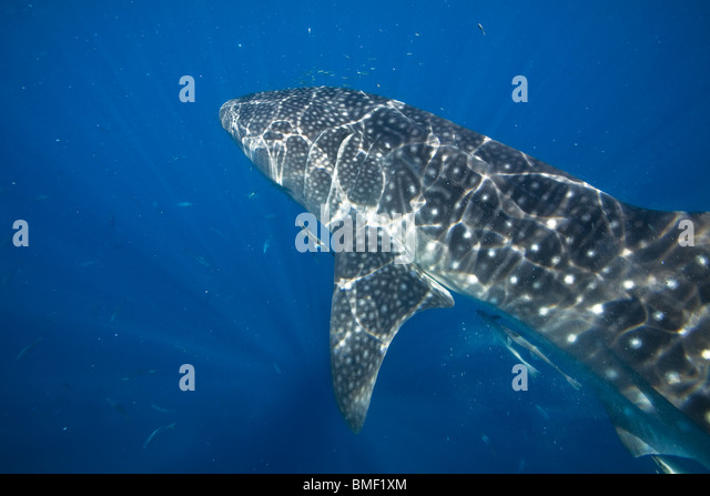 Whale Shark, Honda Bay, Palawan, The Philippines - Stock-Bilder
