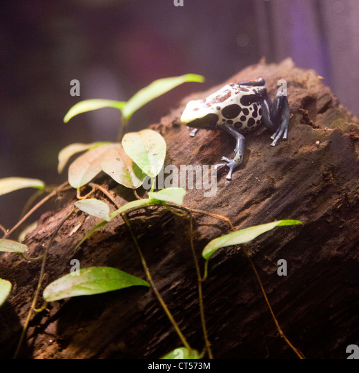 Black and yellow poison dart frog stock photos black and for Frog london