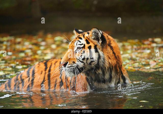 Siberian tiger, Amurian tiger (Panthera tigris altaica), tigress bathing in a pond in autumn - Stock Image