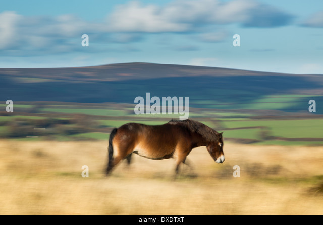 A wild Exmoor pny on Winsford Hill, Exmoor, National Park, Somerset, England - Stock-Bilder