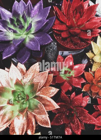Colourful shiny succulents - Stock Image