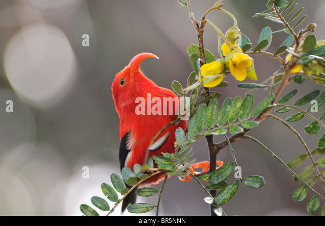 'I'iwi bird - Hawaiian Honeycreeper - extracting nectar, Maui, Hawaii Islands, Hawaii, USA. - Stock Image